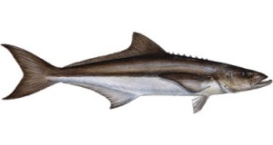 Cobia - Know Your Fish