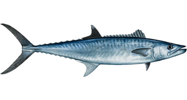 Kingfish - Know Your Fish