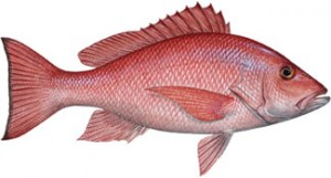 Know Your Red Snapper