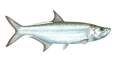 Tarpon - Know Your Fish